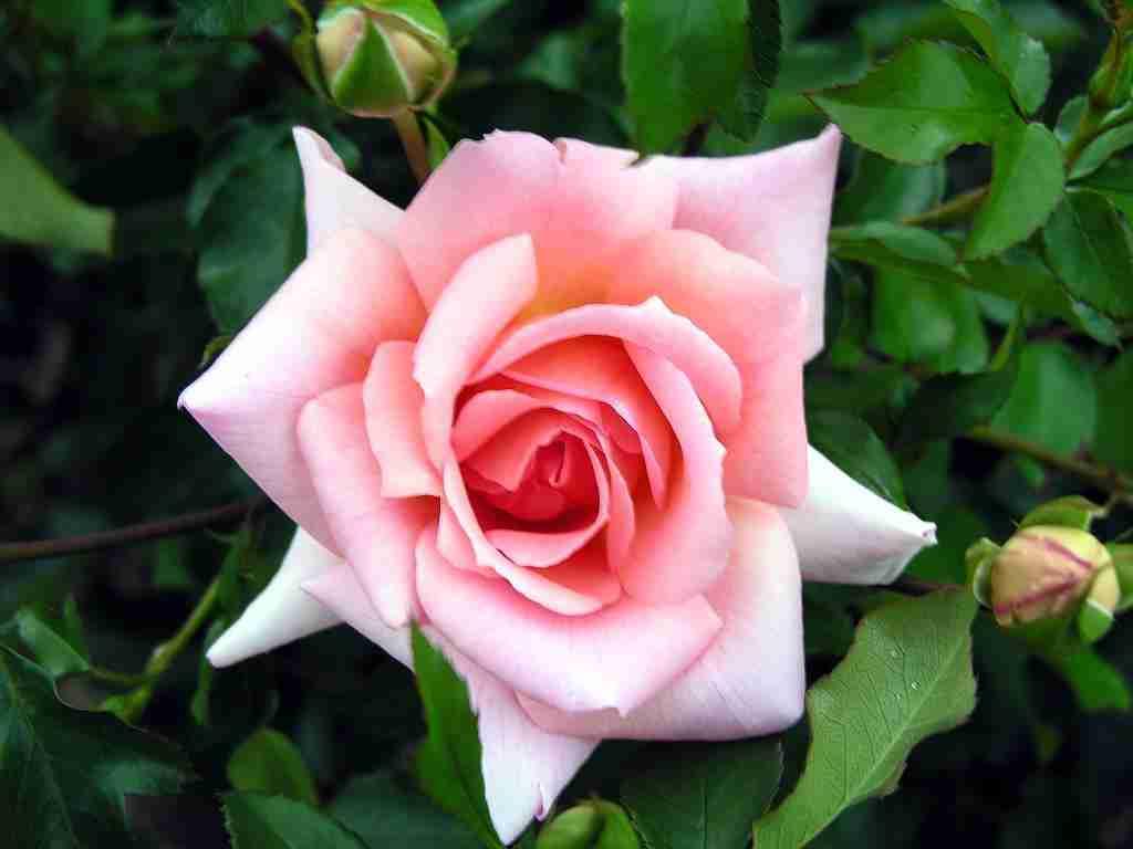 Rose Perfume Roll-on