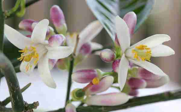 Amaradora Botanical Perfume, .33oz.